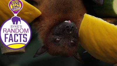 What Popular Beverage Comes To Us From Bats?